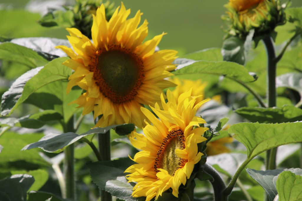 Sunflowers returned to the farm this year, having been a hit last year.