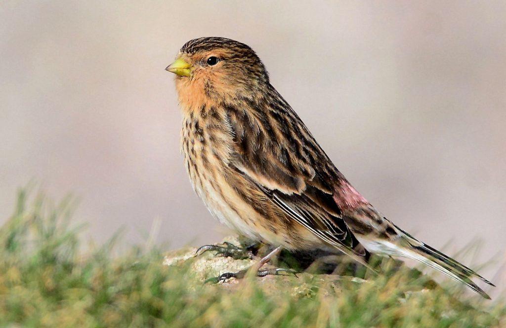 Ringed Kintyre bird's North Wales flights