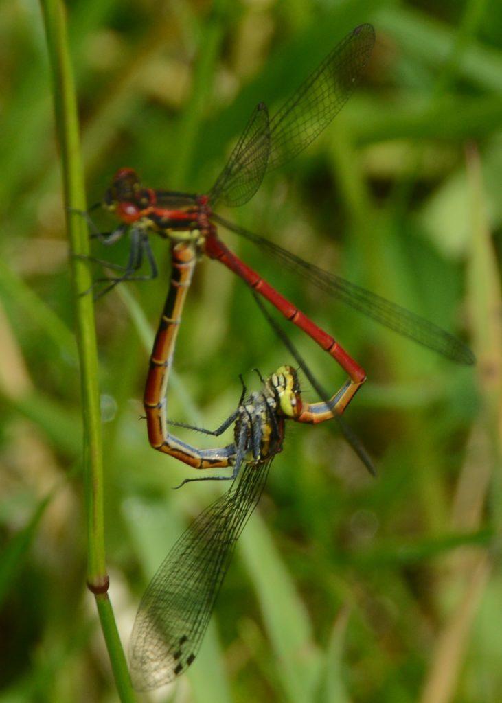 Letter: 'Mating dragonflies' were damselflies