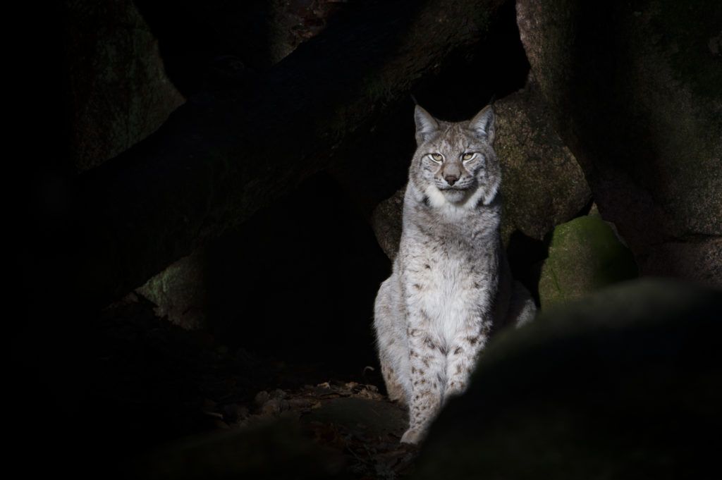 Sheep farmers 'totally against' lynx in Kintyre