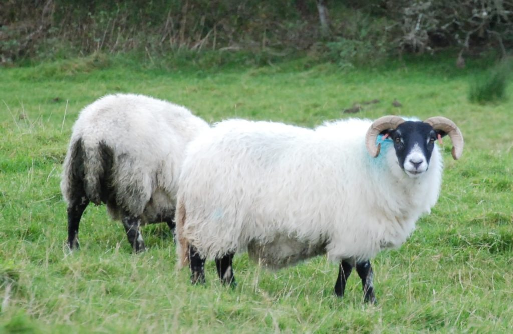 Sheep have a vital role in helping to tackling climate change
